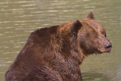 A brown bear resting in water / Ursus arctos Royalty Free Stock Photo