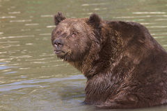 A brown bear resting in water / Ursus arctos Royalty Free Stock Images
