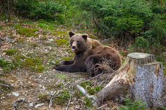 Brown bear rests in the forest Stock Image
