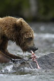 Brown bear ripping up salmon. In Brooks River Royalty Free Stock Images