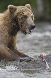 Brown bear ripping up salmon. In Brooks River Stock Photo