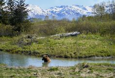 Brown Bear in the River