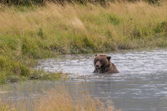 Brown Bear in River Stock Photos