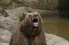 Brown bear roar. At the zoo stock photos