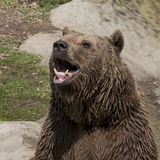 Brown bear roar. At the zoo stock image