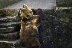 Brown bear roaring Royalty Free Stock Photos