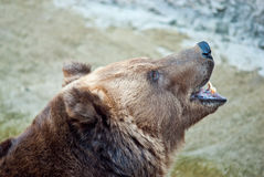 Brown bear roars Stock Photo