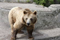 brown bear on the rock Royalty Free Stock Photos