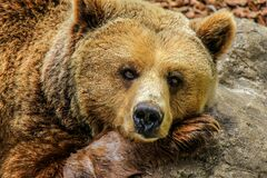 Brown bear on rock Stock Photography