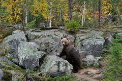 Brown Bear on the Rocks. In autumn Stock Photo