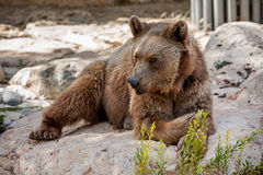 Brown bear on the rocks. Stock Photo