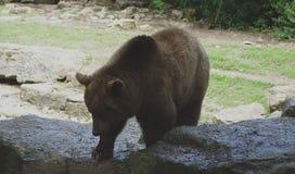 Brown bear on rocks in a meadow Stock Image