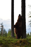 Brown bear rubs his back against a tree. Bear standing. Stock Photo