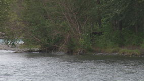 Brown bear running ashare with salmon stock video