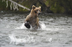 Brown bear running in Brook River Stock Photography
