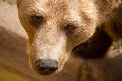 Brown bear's face close up Royalty Free Stock Photography
