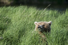 Brown bear's head just in sight Royalty Free Stock Images