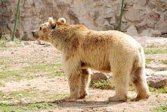 Brown Bear's walk. Brown Bear walking in the zoo Stock Photo