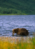 Brown Bear With Salmon Stock Photos