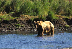 Brown Bear With Salmon Stock Photo