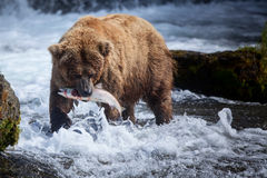 Brown Bear With Salmon. A brown bear sow catches a salmon at the base of Brooks Falls royalty free stock photography