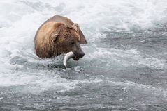 Brown Bear with Salmon Royalty Free Stock Image