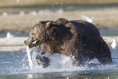 Brown bear with salmon in his mouth Royalty Free Stock Photography