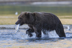 Brown bear with salmon in mouth. Brown bear with salmon in river Royalty Free Stock Images