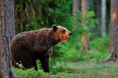 Brown Bear scratching Royalty Free Stock Photo