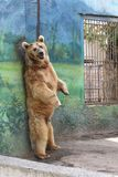 Brown bear scratching its back. At the zoo Stock Image