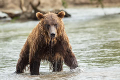 Brown bear in search of prey. Kurile Lake. Stock Images