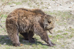 Brown bear searching for food Stock Photo