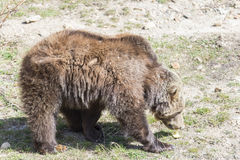 Brown bear searching for food Royalty Free Stock Photo