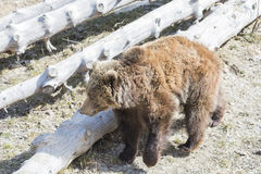 Brown bear searching for food Stock Photos
