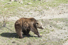 Brown bear searching for food Stock Images