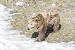 Brown bear searching for food Royalty Free Stock Images