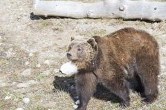 Brown bear searching for food Stock Image