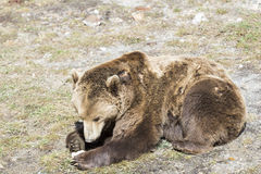 Brown bear searching for food Stock Photography