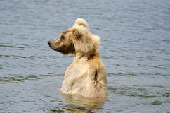 Brown bear searching for salmon Royalty Free Stock Photo