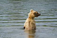 Brown bear searching for salmon Royalty Free Stock Images