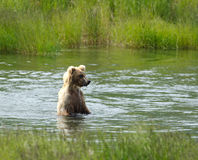 Brown bear searching for salmon Stock Photography