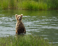 Brown bear searching for salmon Stock Photos