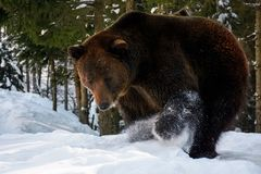 Brown bear searching something in the snow Stock Images