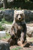 Brown bear seated Royalty Free Stock Image