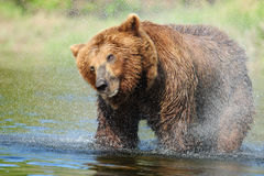 Brown Bear Shake Stock Photos