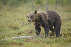 Brown bear shake Royalty Free Stock Images