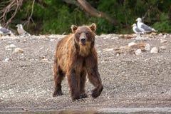 Brown bear on the shore of Kurile Lake. Stock Photo