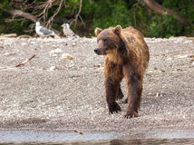Brown bear on the shore of Kurile Lake. Stock Images