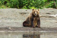 Brown bear on the shore of Kurile Lake. Stock Image