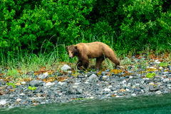 Brown bear on the shoreline. Brown bear foraging on the shoreline Royalty Free Stock Photos
